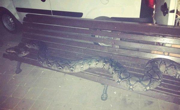 «Лучше, чем алкаши»: На скамейке в Ростове-на-Дону спал двухметровый питон