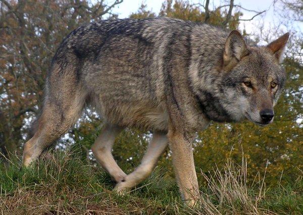 В Беловежской пуще открылась вакансия для желающих перевоплотиться в волка