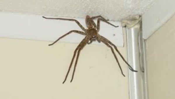 В Белоруссии на крыше дома живет паук-монстр