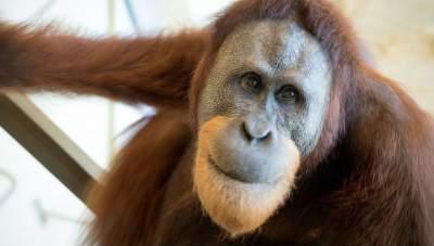В Австралии умер самый старый в мире орангутан