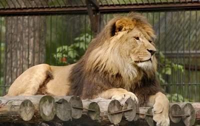 В Бельгии из зоопарка сбежал лев
