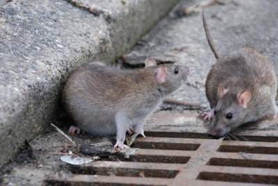 В Швеции город атакуют крысы размером с кошку
