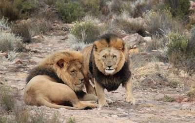 В ЮАР львы съели браконьеров