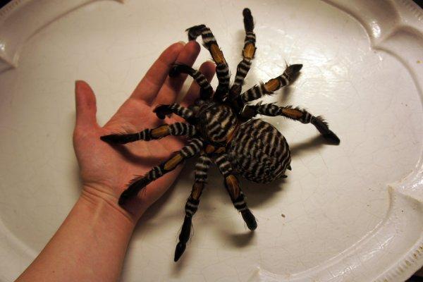 Гигантские тарантулы оказались на свободе и вызвали панику у жителей Британии