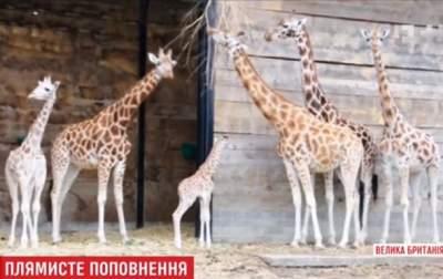 В английском сафари-парке родился детеныш редкого жирафа