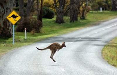 Агрессивный кенгуру травмировал семейную пару в Австралии