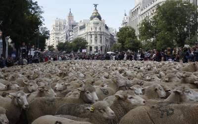 Центр Мадрида заполонили стада овец