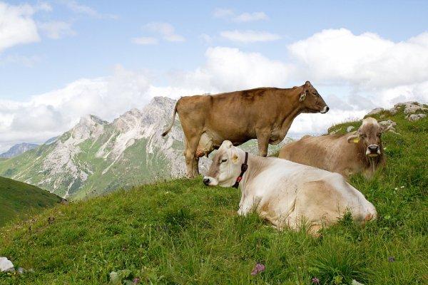 В Великобритании выпустят Tinder для коров