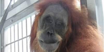 В Индонезии обезьяна исчезающего вида выжила, получив 74 пули
