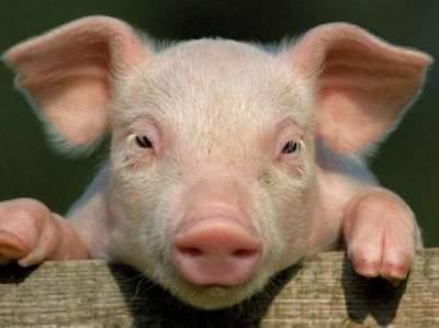 В Китае не утихает африканская чума свиней